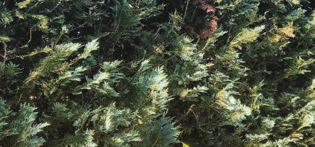 Hinweise der Unfallkassen Nr. 274: Giftige Heckenpflanzen und -büsche
